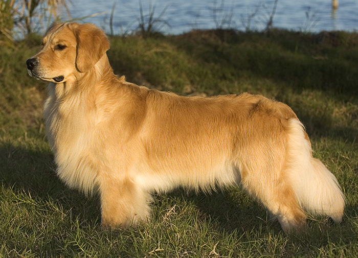 The dogs of Gemini Goldens: AKC Breeder of Golden Retrievers Located