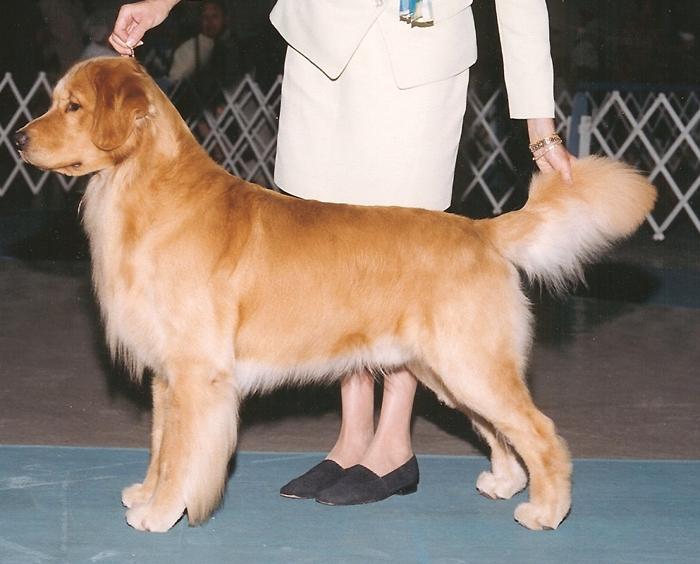 The dogs of Gemini Goldens: AKC Breeder of Golden Retrievers