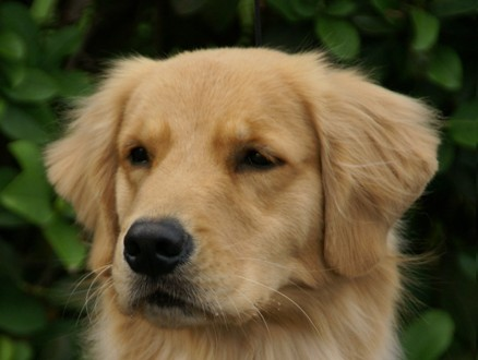The dogs of Gemini Goldens: AKC Breeder of Golden Retrievers