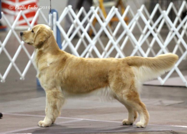 English golden retriever breeders in florida